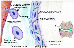 barrier macrophages