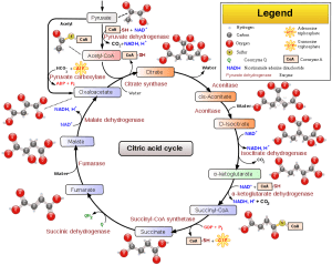 Krebs cycle detail