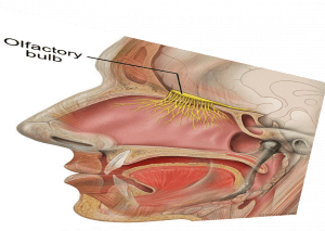 distorted image of sagittal section of head showing the olfactory bulb